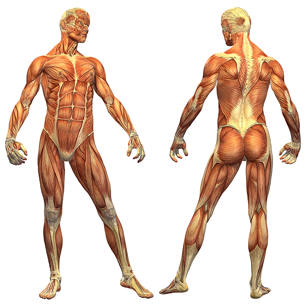anatomi kroppen